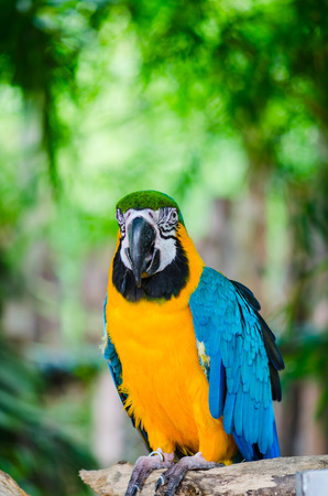 maccaw: Parrot Macaw in the nature. Stock Photo