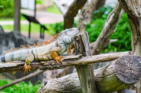 Big Iguana in wildlife