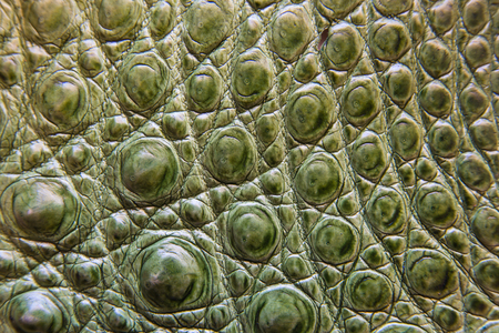 Freshwater crocodile belly skin texture background. This image of Freshwater Crocodile