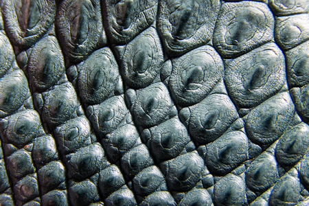 leather texture: Freshwater crocodile belly skin texture background. This image of Freshwater Crocodile Crocodylus siamensis.This skin is very classic and beauty. Stock Photo