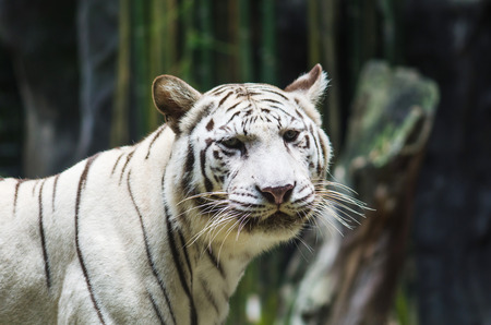 White Tiger in the nature. Stock Photo