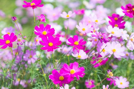 Cosmos flowers blooming in the garden.