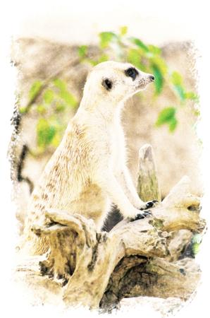 Watercolour Painting of Meerkat in the park.