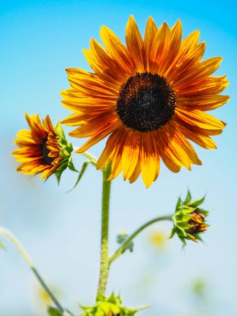 Close-up of Sunflower with the blue sky and nature background.