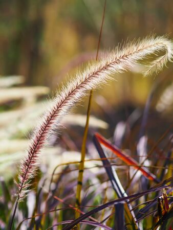 Poaceae Grass Flowers Field, Pink and Brown grass in nature Landscape of winter meadow of Thailand, selection focus only on the grass flower. Фото со стока