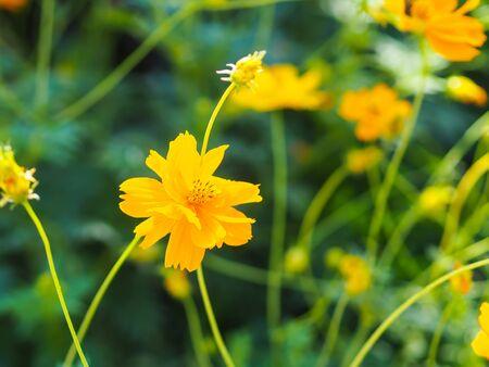 Beautiful cosmos flowers blooming in garden. Фото со стока