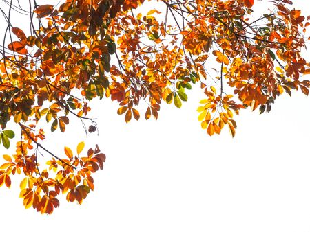 Branch of Autumn leaves isolated on the white background. Фото со стока
