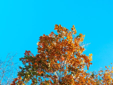 Autumn leaves in nature landscape of winter meadow of Thailand. On the blue sky field.