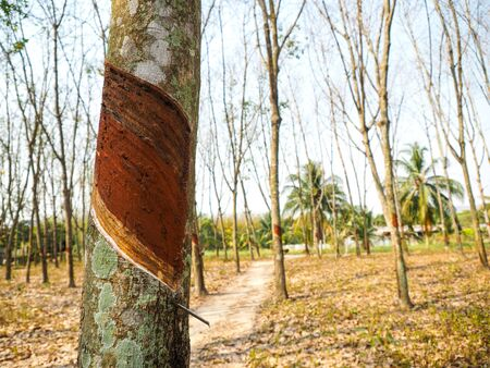 Rubber tree in the Rubber forest.