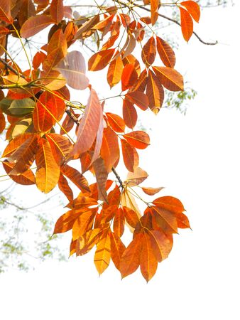 Branch of Autumn leaves isolated on the white Фото со стока