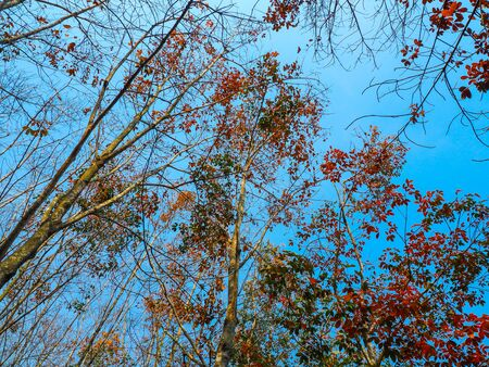 Autumn leaves on tree with the blue sky