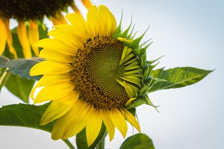 abnormal: abnormal sun flower in Thailand Stock Photo
