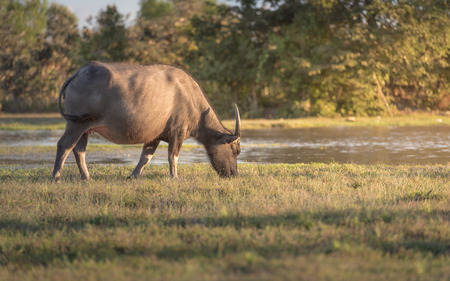 water buffalo: water buffalo is grazing on the meadow, thailand Stock Photo