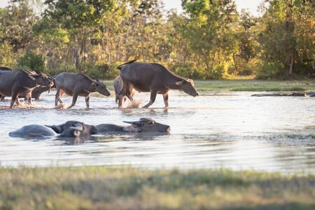 graze: water buffalo fording a river in thailand
