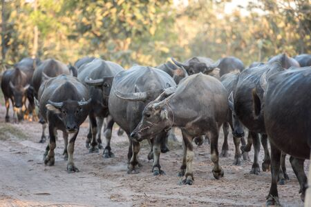 corral: water buffalo is going back to the corral Stock Photo