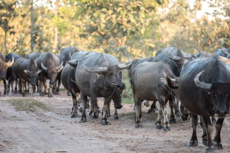 water buffalo: water buffalo is going back to the corral in thailand Stock Photo