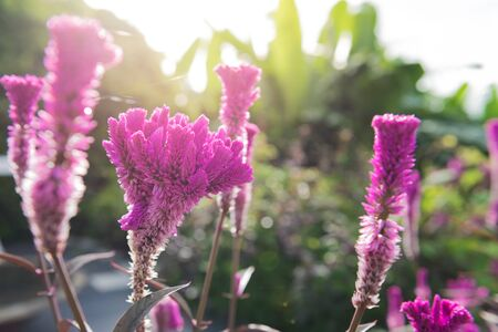 cockscomb: purple cockscomb flower with sunlight in the morning Stock Photo