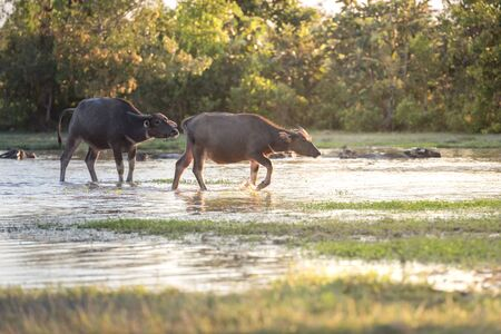 water buffalo: water buffalo fording a river in thailand