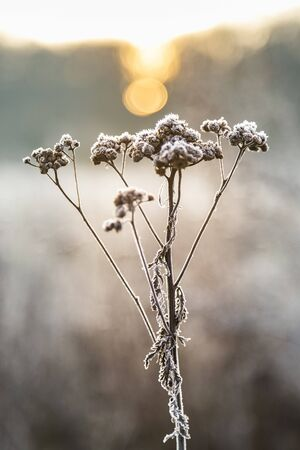 Plants with white frost on a cold winter morning