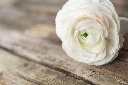 persian buttercup flower on a wooden grungy background, with natural light
