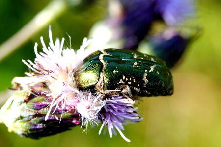 Rose beetles photo