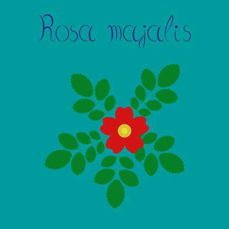 majalis: flat illustration on stylish background rosa majalis