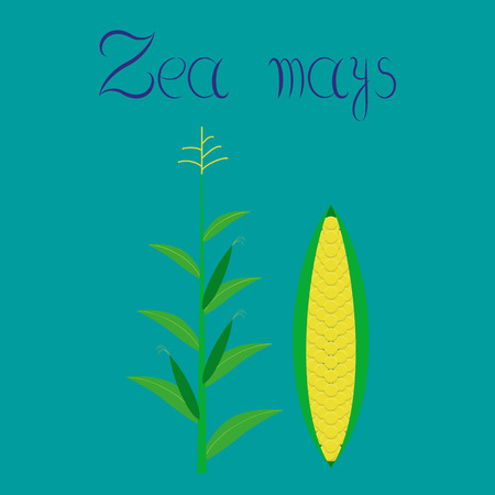 zea mays: flat illustration on stylish background zea mays