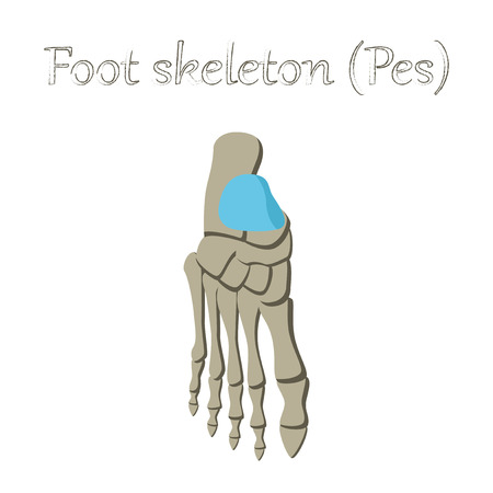 calcaneus: human organ icon in flat style foot skeleton