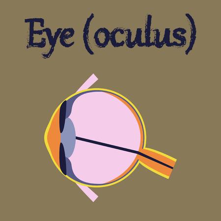 human eye: human organ icon in flat style eye