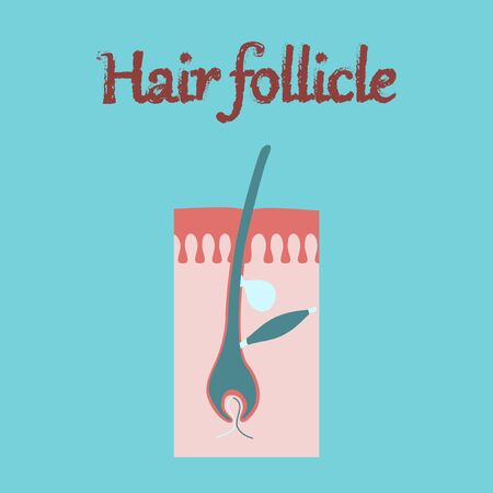 cuticle: human organ icon in flat style hair follicles Stock Photo