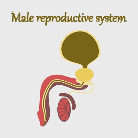 human organ icon in flat style Male Reproductive System