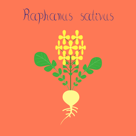 スタイリッシュな背景植物ダイコンのフラットの図