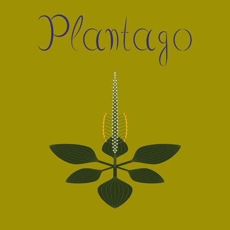 plantain herb: flat illustration on background plant Plantago