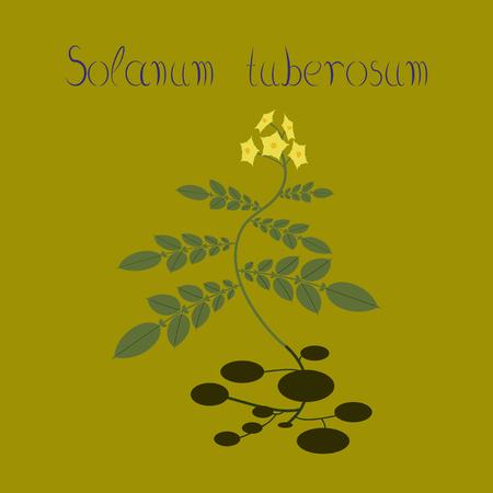 flat illustration on background plant Solanum