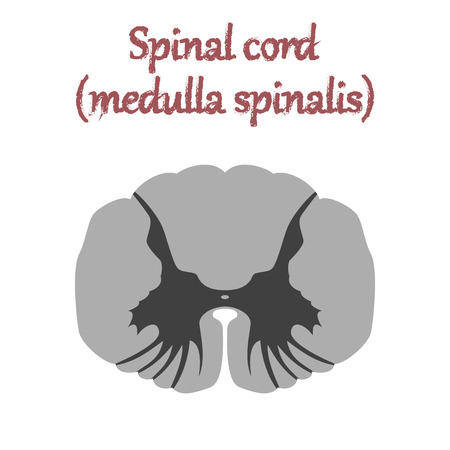 human organ icon in flat style spinal cord