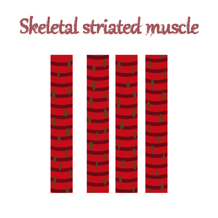 human organ icon in flat style skeletal striated muscle Illustration