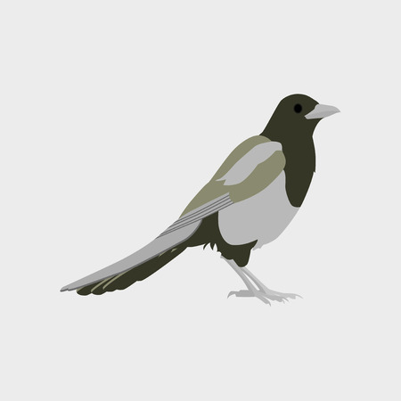 Vector illustration in flat style of magpie Illustration