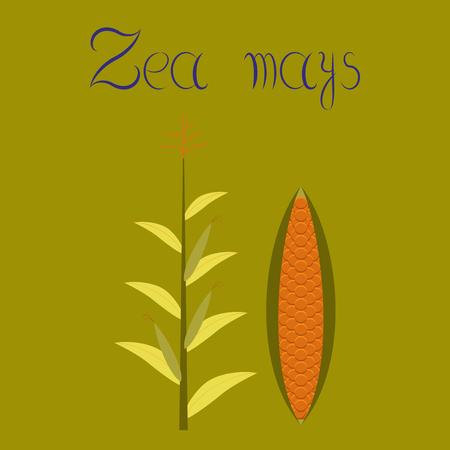 Flat illustration on background zea mays