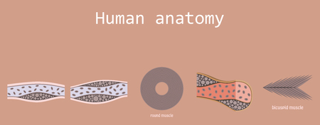 Types of Muscle Tissue of Human Body Diagram including cardiac skeletal smooth with example of heart digestive system along with involuntary voluntary control for medical science education Illustration