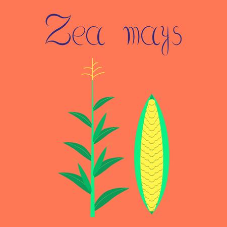 flat illustration on stylish background zea mays