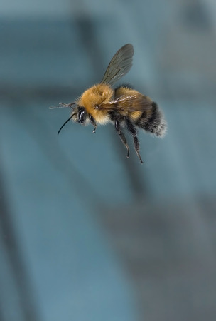 Photo of a bumblebee on a blue background
