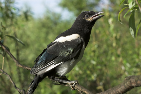 Magpie nestling  sits on a branch of a tree photo