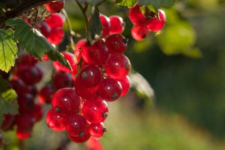 The ripened red currant on a branch