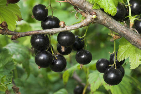 The ripened black currant on a branch Stock Photo