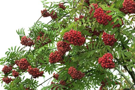 Branch of the ripened mountain ash on a background of the white sky Stock Photo - 1647942