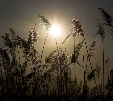 In the early morning the sun shines through a cane Stock Photo - 1665580