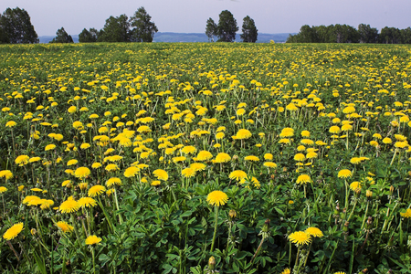 agricultura: Field of yellow dandelions in the beginning of summer Stock Photo