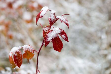 Red leaves powdered with a snow
