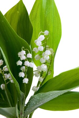 mayflower: White lilies of the valley in drops of water on a white background