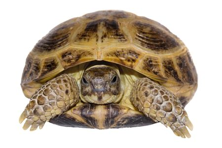 ancient turtles: Turtle close up on a white background